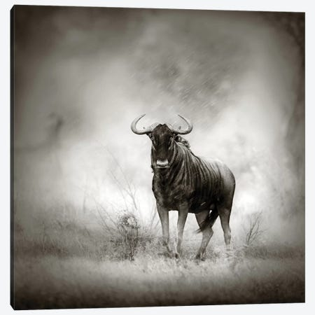 Blue Wildebeast In Rainstorm Canvas Print #JSW7} by Johan Swanepoel Canvas Art Print