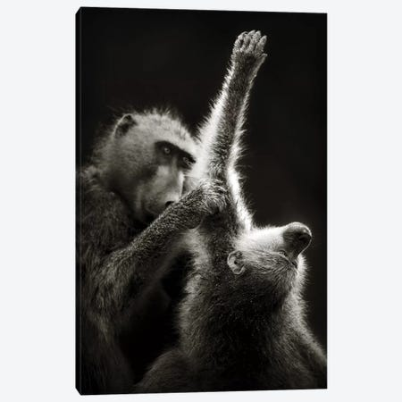 Chacma Baboons Grooming Canvas Print #JSW8} by Johan Swanepoel Canvas Artwork