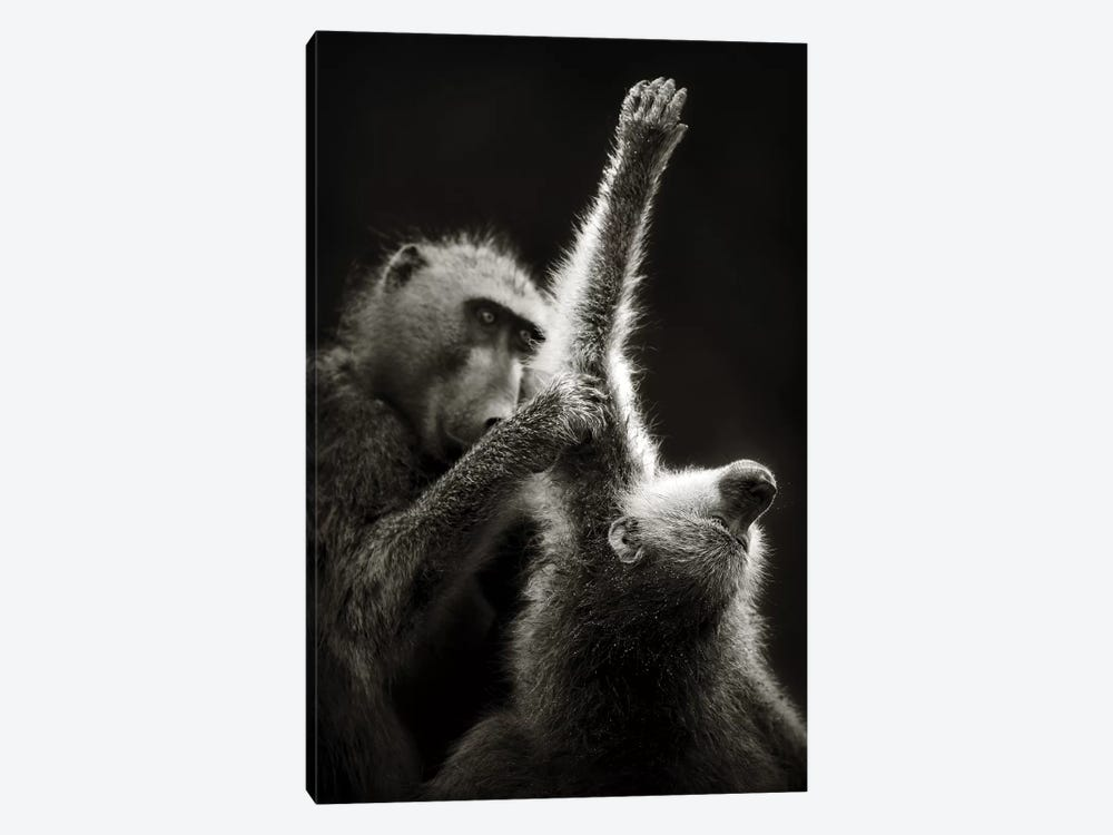 Chacma Baboons Grooming by Johan Swanepoel 1-piece Canvas Art