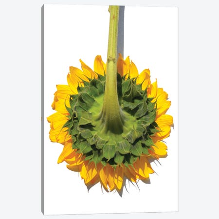 Sunflower Back Canvas Print #JTN54} by Jonathan Brooks Canvas Artwork