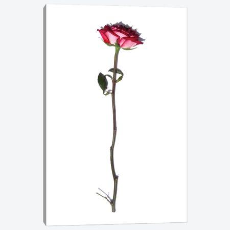 The Rose Canvas Print #JTN60} by Jonathan Brooks Canvas Art
