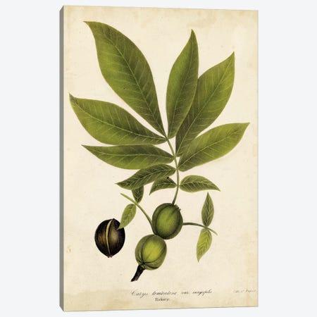 Hickory Tree Foliage Canvas Print #JTO1} by John Torrey Canvas Art