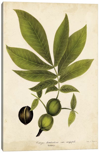 Hickory Tree Foliage Canvas Art Print