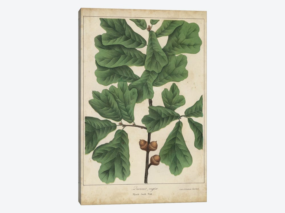 Oak Leaves & Acorns I by John Torrey 1-piece Canvas Art Print