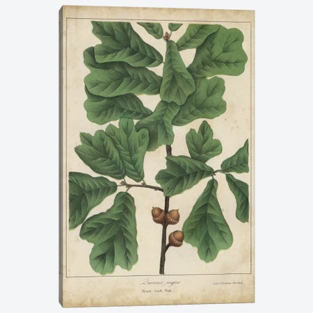 Oak Leaves & Acorns I Canvas Print #JTO2} by John Torrey Canvas Art