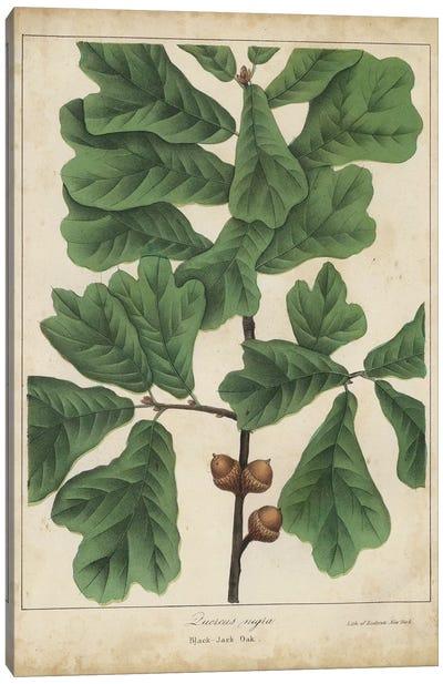Oak Leaves & Acorns I Canvas Art Print