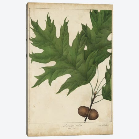 Oak Leaves & Acorns II Canvas Print #JTO3} by John Torrey Canvas Artwork