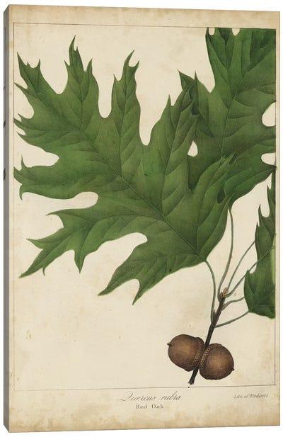 Oak Leaves & Acorns II Canvas Art Print