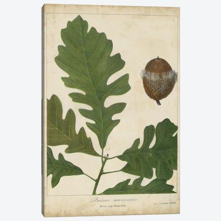 Oak Leaves & Acorns III Canvas Print #JTO4} by John Torrey Canvas Art Print