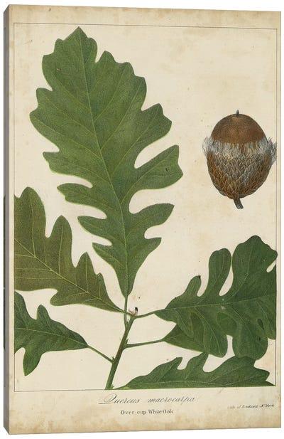 Oak Leaves & Acorns III Canvas Art Print