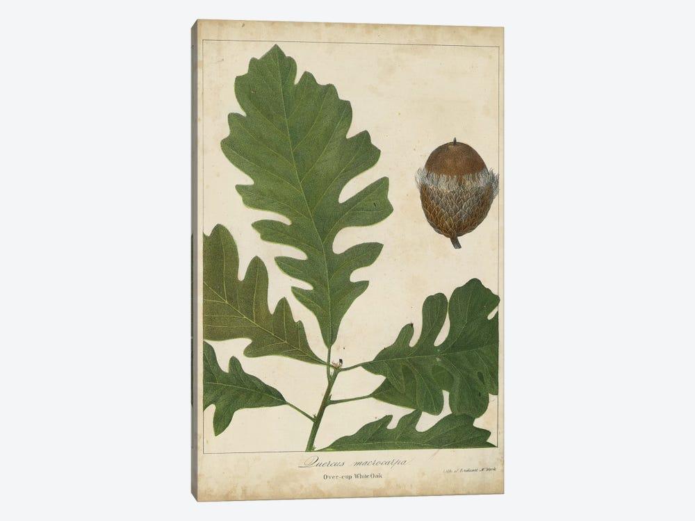 Oak Leaves & Acorns III by John Torrey 1-piece Canvas Art Print