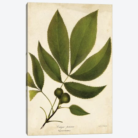 Pig-Nut Hickory Tree Foliage Canvas Print #JTO5} by John Torrey Canvas Art Print