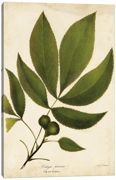 Pig-Nut Hickory Tree Foliage Canvas Art Print