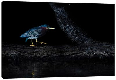 Green Heron Canvas Art Print