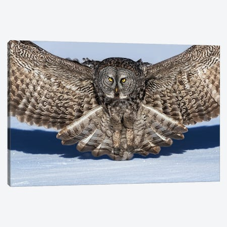 Great Grey Owl Canvas Print #JUZ10} by Jun Zuo Canvas Artwork