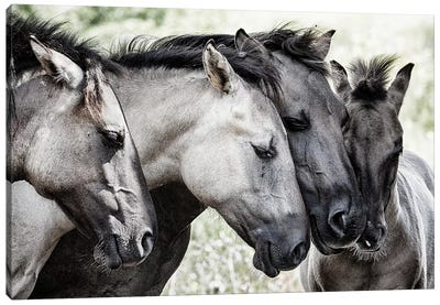 Four Konik Horses Canvas Art Print