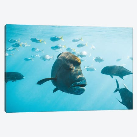 Maori Wrasse Underwater Nature Fish Reef Canvas Print #JVO106} by James Vodicka Art Print