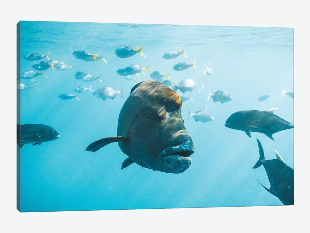Maori Wrasse Underwater Nature Fish Reef by James Vodicka 1-piece Canvas Print