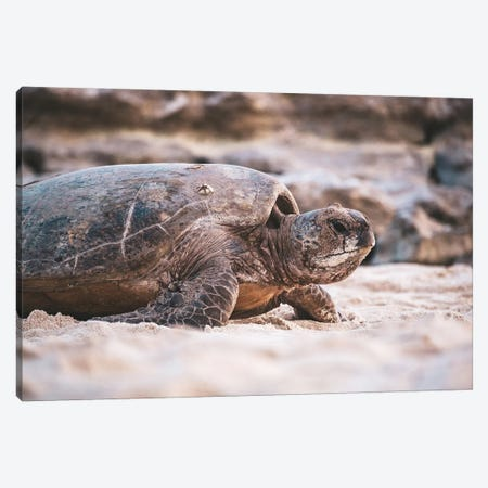 Beach Turtle Nature Close-Up Canvas Print #JVO12} by James Vodicka Canvas Print