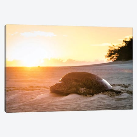 Sunrise Turtle On Beach Golden Light Canvas Print #JVO182} by James Vodicka Canvas Artwork