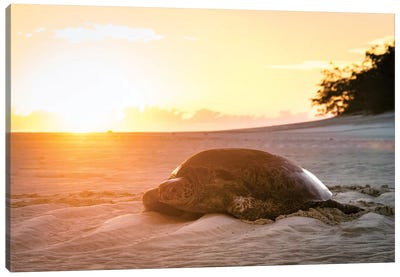 Sunrise Turtle On Beach Golden Light Canvas Art Print