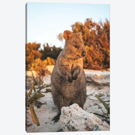 Sunset Quokka On Rottnest Island Canvas Print #JVO192} by James Vodicka Art Print