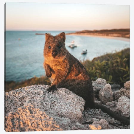 Sunset Quokka On Rottnest Island (Square) Canvas Print #JVO193} by James Vodicka Canvas Print