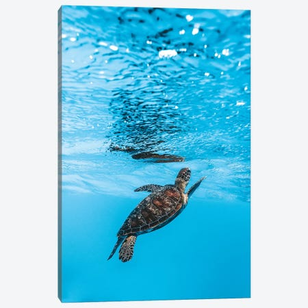 Underwater Little Turtle Canvas Print #JVO217} by James Vodicka Canvas Art Print