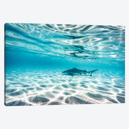 Underwater Reef Shark Shallow Water Canvas Print #JVO220} by James Vodicka Art Print