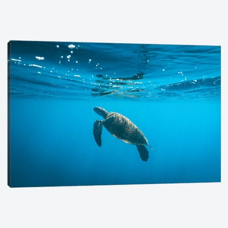 Underwater Turtle Near Surface Canvas Print #JVO224} by James Vodicka Canvas Wall Art