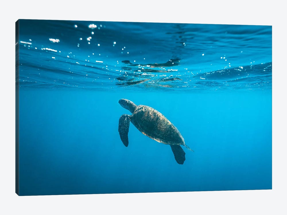 Underwater Turtle Near Surface by James Vodicka 1-piece Canvas Print