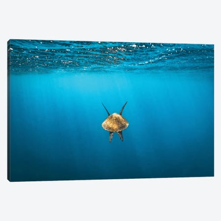 Following Golden Turtle Underwater Canvas Print #JVO39} by James Vodicka Art Print