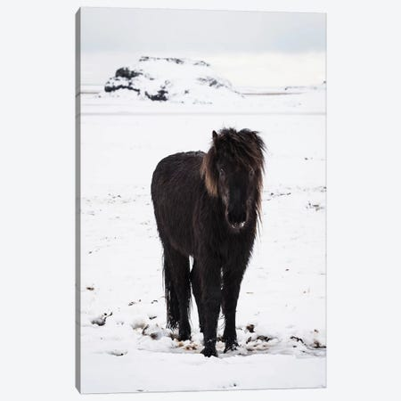 Icelandic Pony In Winter Snow Canvas Print #JVO57} by James Vodicka Canvas Art