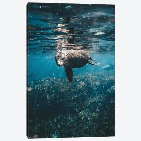 Inquisitive Sea Lion Underwater Canvas Print #JVO63} by James Vodicka Canvas Art