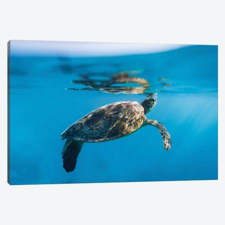 Large Turtle Underwater Reef Canvas Print #JVO84} by James Vodicka Canvas Print