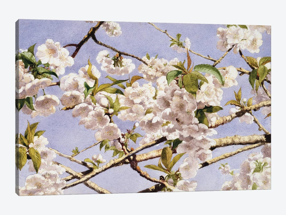 Apple Blossoms by John William Hill 1-piece Canvas Print