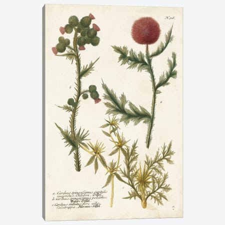 Botanical Varieties II Canvas Print #JWW2} by Johann Wilhelm Weinmann Canvas Art