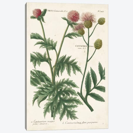 Botanical Varieties III Canvas Print #JWW3} by Johann Wilhelm Weinmann Canvas Art