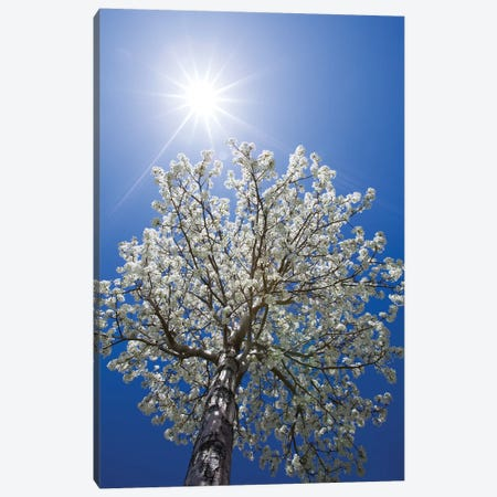 Usa, California, Bishop. Flowering Pear Tree. Canvas Print #JYG1002} by Jaynes Gallery Canvas Print