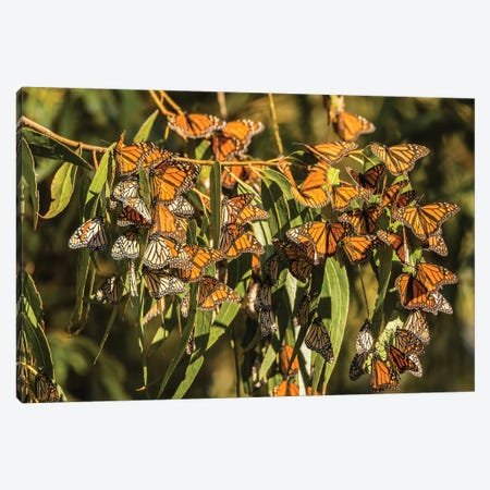 Usa, California, San Luis Obispo County. Clustering Monarch Butterflies On Branches. Canvas Print #JYG1010} by Jaynes Gallery Canvas Art