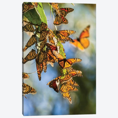 Usa, California, San Luis Obispo County. Clustering Monarch Butterflies On Branches. Canvas Print #JYG1011} by Jaynes Gallery Canvas Artwork