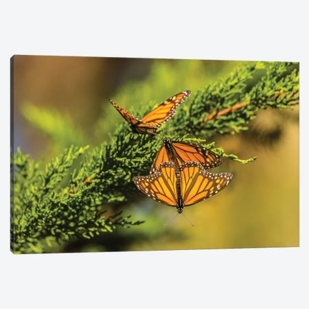 Usa, California, San Luis Obispo County. Monarch Butterflies On Branch. Canvas Print #JYG1018} by Jaynes Gallery Canvas Artwork
