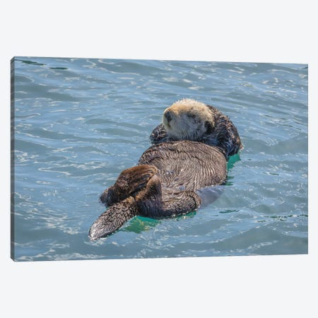 USA, California, Morro Bay State Park. Sea Otter mother resting on water. Canvas Print #JYG101} by Jaynes Gallery Canvas Wall Art