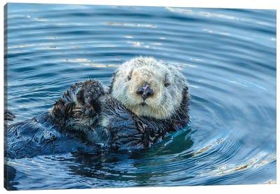 Usa, California, San Luis Obispo County. Sea Otter Grooming. Canvas Art Print