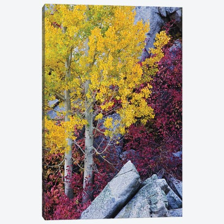 Usa, California, Sierra Nevada Mountains. Mountain Dogwood And Aspen Trees In Autumn. Canvas Print #JYG1029} by Jaynes Gallery Canvas Art Print