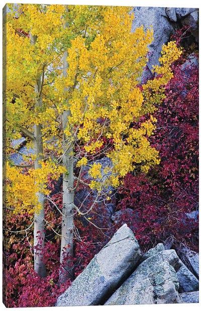 Usa, California, Sierra Nevada Mountains. Mountain Dogwood And Aspen Trees In Autumn. Canvas Art Print