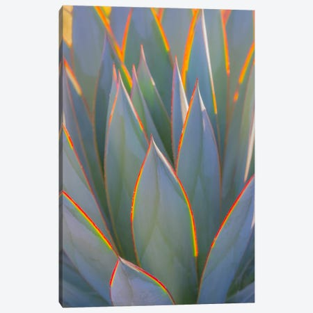 USA, California, Morro Bay. Backlit agave leaves. Canvas Print #JYG102} by Jaynes Gallery Canvas Wall Art