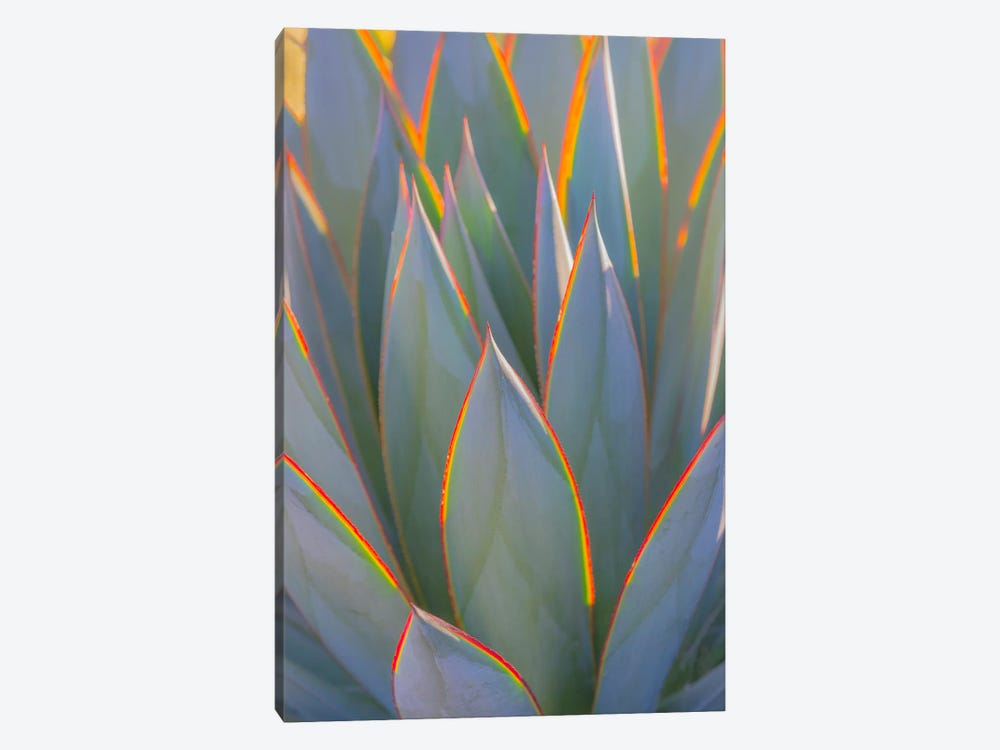 USA, California, Morro Bay. Backlit agave leaves. by Jaynes Gallery 1-piece Canvas Art Print