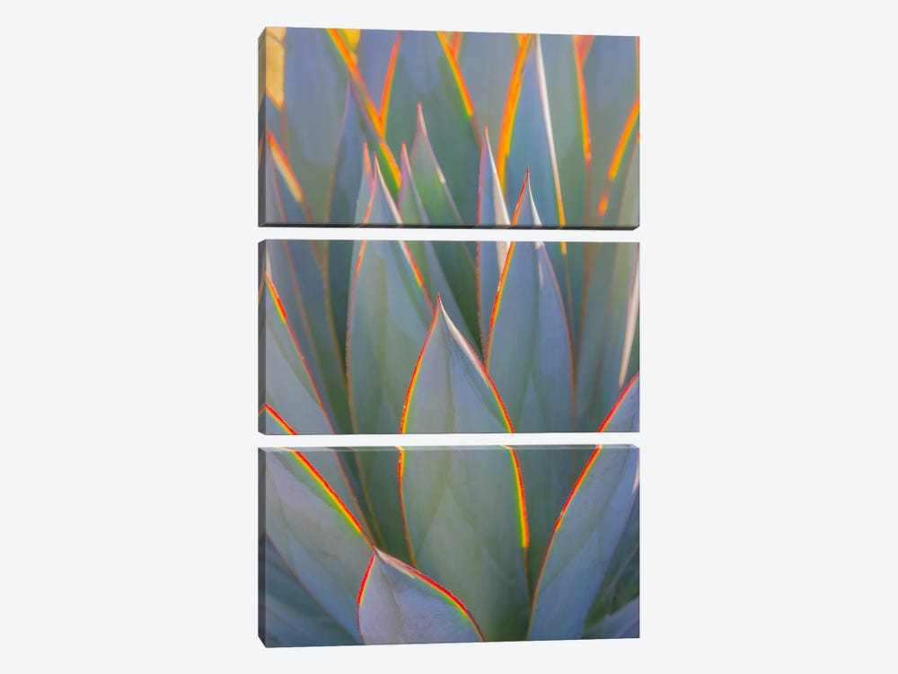USA, California, Morro Bay. Backlit agave leaves. by Jaynes Gallery 3-piece Art Print
