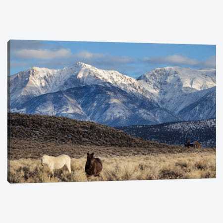 Usa, California. White Mountains And Wild Mustangs In Adobe Valley. Canvas Print #JYG1050} by Jaynes Gallery Canvas Art